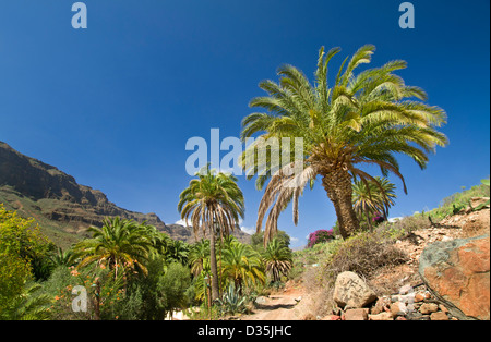 A lush oasis of palm trees and Bougainvillea with mountains of central Gran Canaria behind Canary Islands Spain - Stock Photo