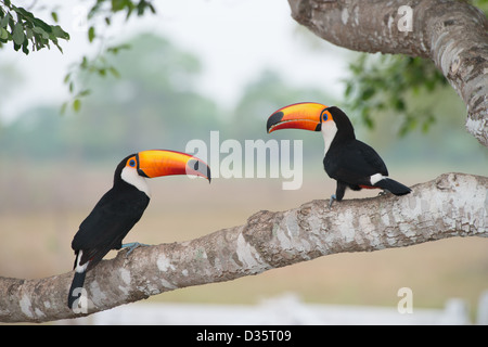 Pair of Toucans, Ramphastos toco. Pantanal - Stock Photo