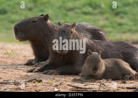 This Capybara was taken at sunset on a beach from a river boat. Pantanal, Brazil - Stock Photo