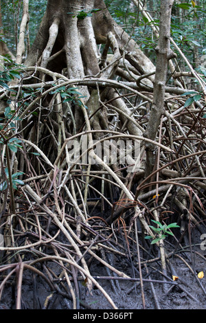LIBREVILLE, GABON, 5th October 2012:  These mangroves are ideal fish sporning grounds and are a protected area. - Stock Photo