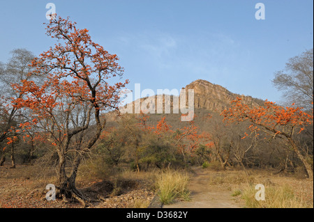 Flame of the forest tree flowering in the summers in Ranthambhore national park - Stock Photo