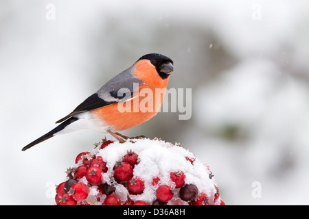 Male Bullfinch on red berries in the snow - Stock Photo