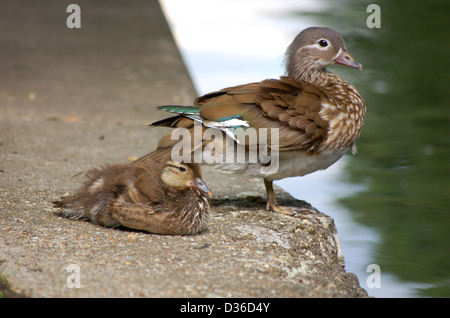 Female Mandarin duck and duckling on the bank of the Regents Canal in London, England - Stock Photo