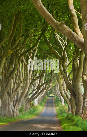 Beech tree lined road or The Dark Hedges a location used in the Game of Thrones Stanocum Ballymoney County Antrim Northern Ireland UK GB Europe