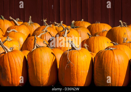 Typical New England scene of just picked pumpkins Vermont United States of America USA - Stock Photo
