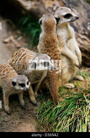 Meerkat or suricate (Suricata, suricatta) is a small mammal and a member of the mongoose family. Zoo in New Zealand - Stock Photo