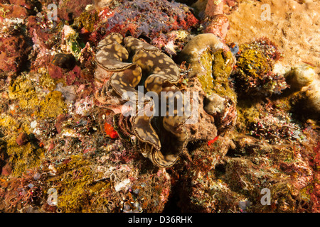 Giant Clam (Tridacna gigas) on a tropical coral reef in Bali, Indonesia. - Stock Photo