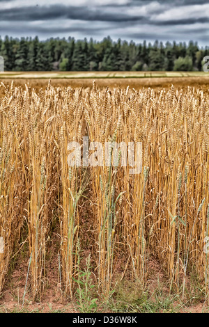 Rows of wheat growing in a rural field in Prince Edward Island, Canada. - Stock Photo