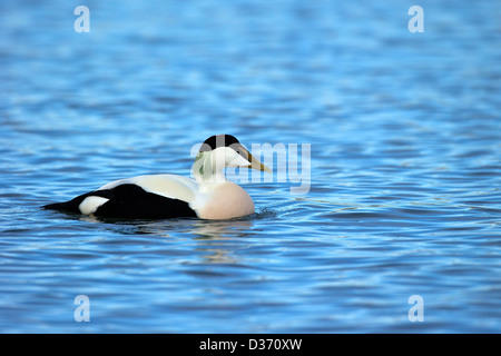 Common eider duck, Seahouses harbour, Northumberland, Northeast England, UK, GB - Stock Photo