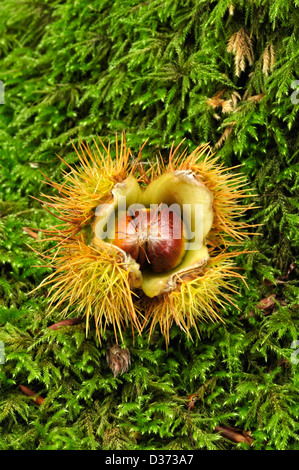 A sweet chestnut on a mossy log - Stock Photo