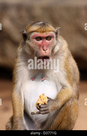 Toque Macaque Macaca sinica - Stock Photo