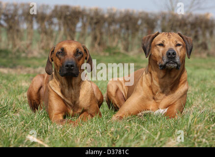 Dog Rhodesian Ridgeback / African Lion Hound two adults lying in a meadow - Stock Photo