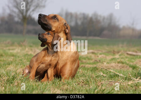 Dog Rhodesian Ridgeback / African Lion Hound  adult and puppy in a meadow - Stock Photo