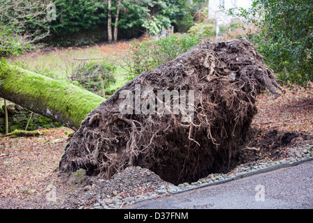 An old Oak tree blown over by storm force winds in Rydal, Lake District, UK. - Stock Photo