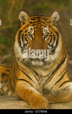 Bengal Tiger (Panthera tigris tigris) Lying Down - Stock Photo