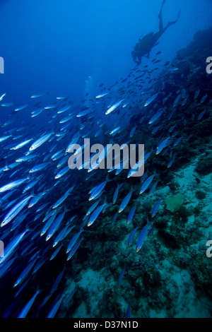 Scuba diver chasing school of fish - Stock Photo