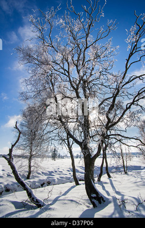 Snow and hoar frost covered birch trees in frozen moorland at the High Fens / Hautes Fagnes in winter, Ardennes, - Stock Photo