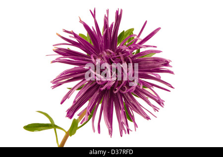 purple aster flower bloom with dew water drops closeup isolated on white background - Stock Photo