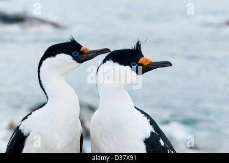 Portrait of male and female Antarctic blue-eyed cormorant spring. - Stock Photo