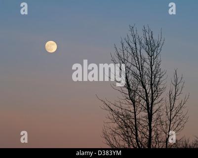 Full moon and bare sycamore tree - Stock Photo