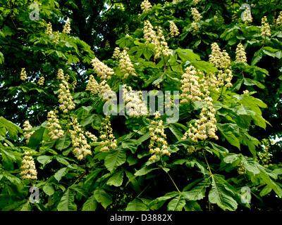 Horse chestnut flowers (Aesculus hippocastanum) - Stock Photo