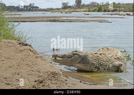 Nile crocodile (Crocodylus niloticus) lying in a river bank in Tsavo national park, Kenya - Stock Photo