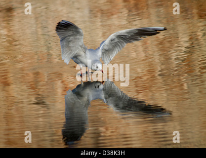 Black-headed Gull and its reflection as it lands on water at the Bishop's Palace Moat in Wells, Somerset - Stock Photo