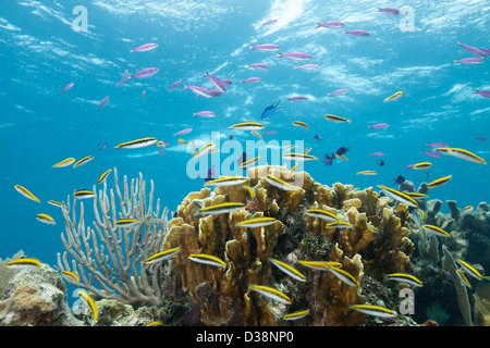 Colorful fish at tropical coral reef - Stock Photo