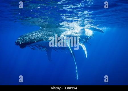Humpback whales swimming underwater - Stock Photo