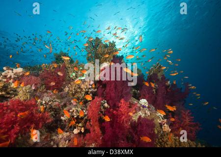 Lyretail Anthias over Reef, Pseudanthias squamipinnis, St. Johns, Red Sea, Egypt - Stock Photo