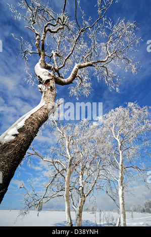 Snow and hoar frost covered birch trees in frozen moorland at the High Fens / Hautes Fagnes in winter, Belgian Ardennes, - Stock Photo