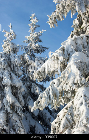 Branches of spruce trees in pine forest covered in white hoar frost and snow in winter - Stock Photo