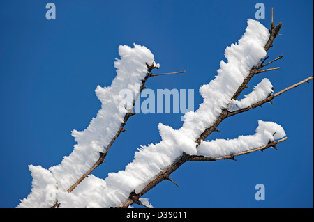 Branches of tree covered in white hoar frost and snow in winter showing ice crystal formation pointing in same direction - Stock Photo