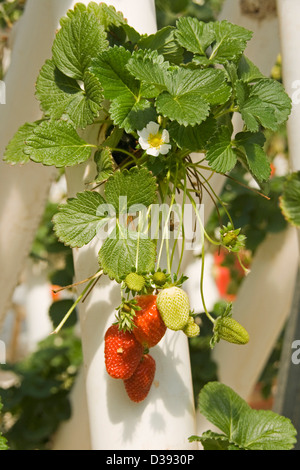 Bunch of ripe red strawberries with flowers and foliage growing in a hydroponic system on a commercial farm - Stock Photo