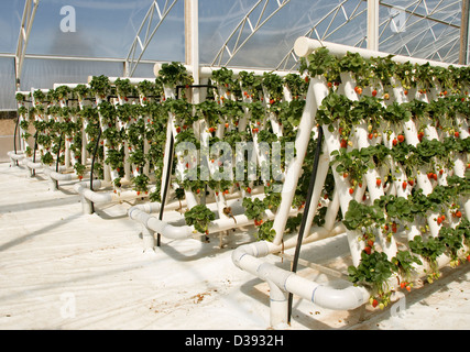 Rows of ripe red strawberries and foliage of plants growing in greenhouse in an extensive hydroponic system on a - Stock Photo
