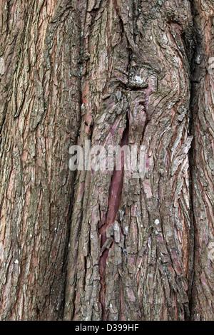 Bald Cypress tree, closeup of bark   'Taxodium distichum'. - Stock Photo