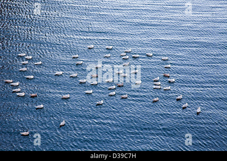 A flock of seagulls swimming in the ocean on the Vancouver waterfront - Stock Photo