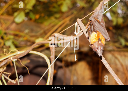 Lyle's Flying Fox (Pteropus lylei) hanging down on a branch, Randers Regnskov zoo, Randers, Denmark - Stock Photo