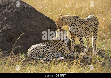 Two Cheetahs sitting in the grasslands of Masai Mara in Kenya, Africa - Stock Photo