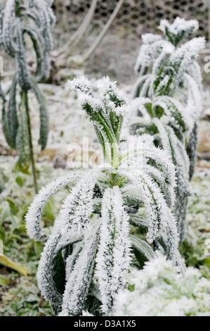 Brassica oleracea var. acephala, Kale, Nero di Toscana in heavy frost, Wales.