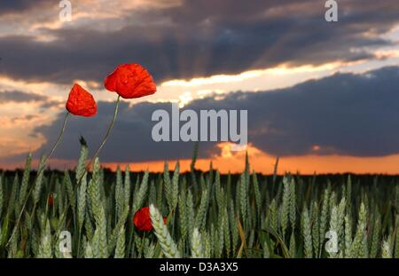 (dpa) - Sunset with red sky over a field with poppies in Dolgelin, Germany, 11 June 2002. - Stock Photo