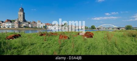 cows in a typical dutch landscape in front of the Dutch city of Deventer - Stock Photo