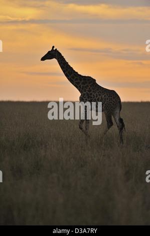 Masai Giraffe or Maasai Giraffe in the scenic grasslands of Masai Mara at sunset - Stock Photo
