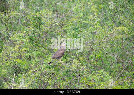 Belize, Crooked Tree Wildlife Sanctuary. Snail Kite (WILD: Rostrhamus sociabilis) perched in tree. - Stock Photo
