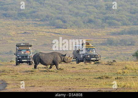 Tourists on a safari watching Black Rhinoceros or Hook-lipped Rhinoceros (Diceros bicornis) in Masai Mara, Kenya - Stock Photo