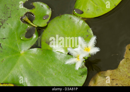 Belize, Crooked Tree Wildlife Sanctuary. Snowflake Water Lilies (Nymphoides indica) aka Water Snowflake or Floating - Stock Photo