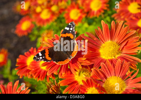 Red Admiral butterfly Vanessa atalanta, on chrysanthemum flowers uk - Stock Photo