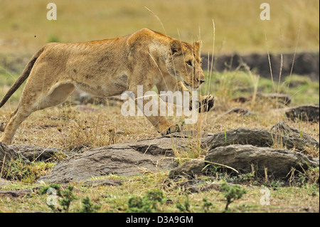 A charging lioness in Masai Mara, Kenya, Africa - Stock Photo