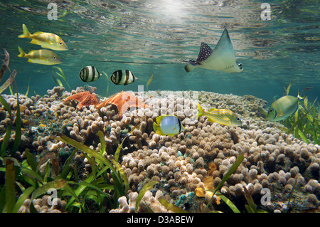 Underwater sea life in a shallow coral reef with tropical fish, starfish and an eagle ray, Caribbean sea - Stock Photo