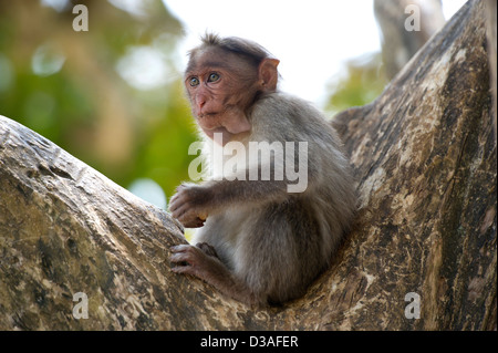 A Bonnet Macaque (Macaca radiata) in the Periyar Tiger Reserve near Thekkady in the Western Ghats, Kerala, India - Stock Photo